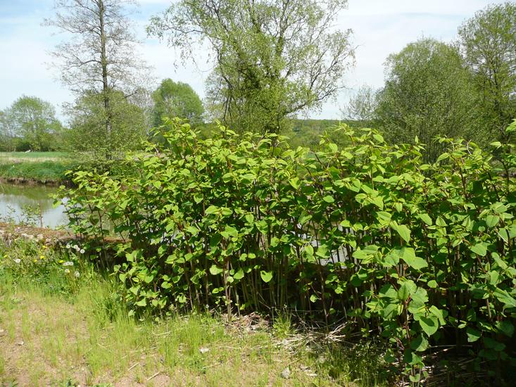 La renou e du japon syndicats du bassin de l 39 erve for Plante japonaise